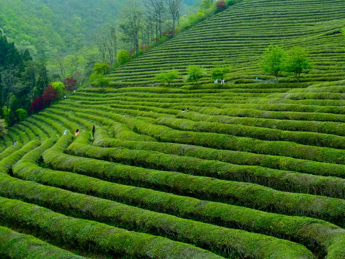 Boseong Tea Fields, South Jeolla Province, Korea