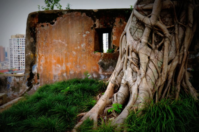 An old tree with curving roots located inside Fortaleza do Monte in Macau.