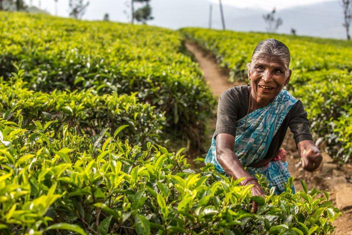 Tea pickers in Nuwara Eilya, Sri Lanka