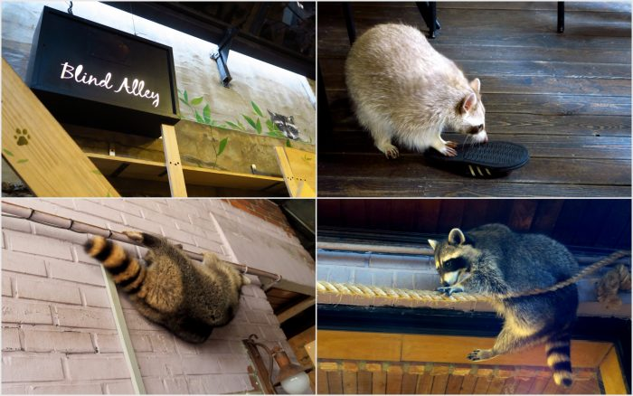 Visiting the Raccoon cafe in Seoul, also known as Blind Alley.